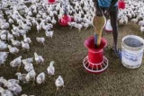 Антибиотики для кур: обзор препаратов, применение, эффективность, отзывы